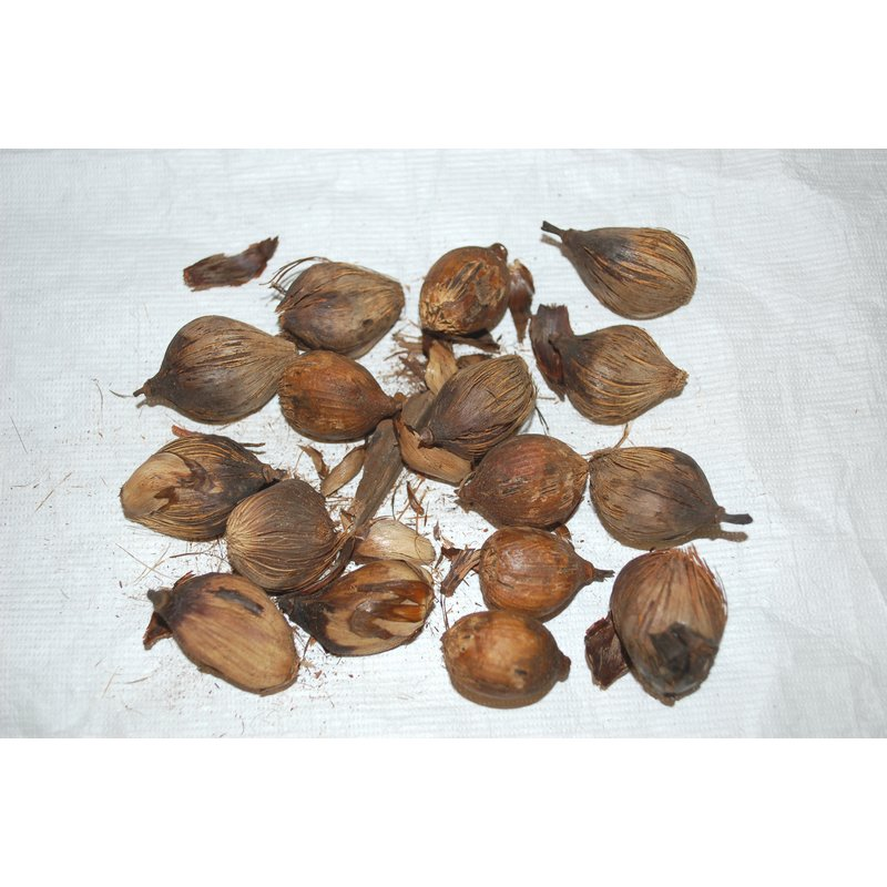 Palm Nut Sample