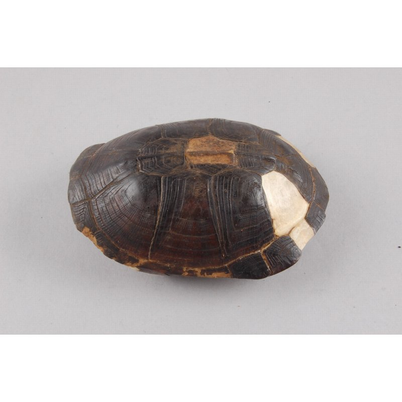 Tortise Shell